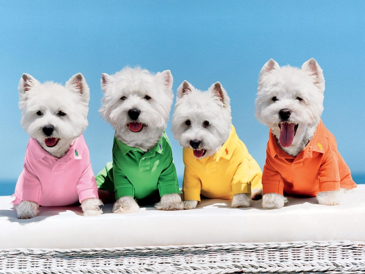 Westies in Ralph Lauren Polo Shirts via Ralph Lauren