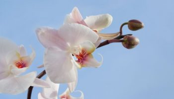 why-orchids-are-a-symbol-of-luxury-and-prestige
